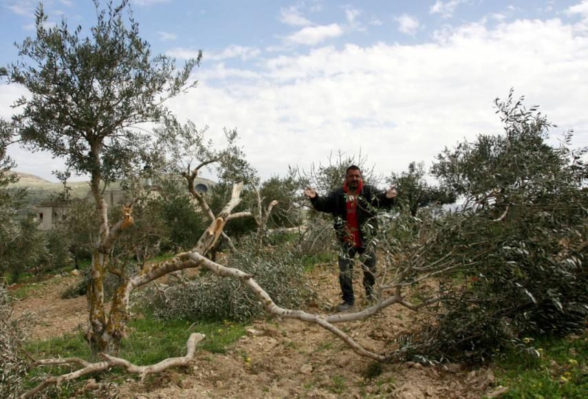 Durant la saison de récolte des olives, les colons israéliens multiplient les attaques contre les agriculteurs